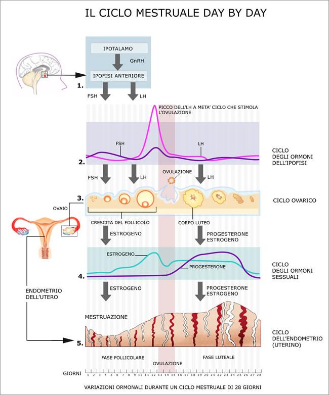 Fasi del ciclo ovarico